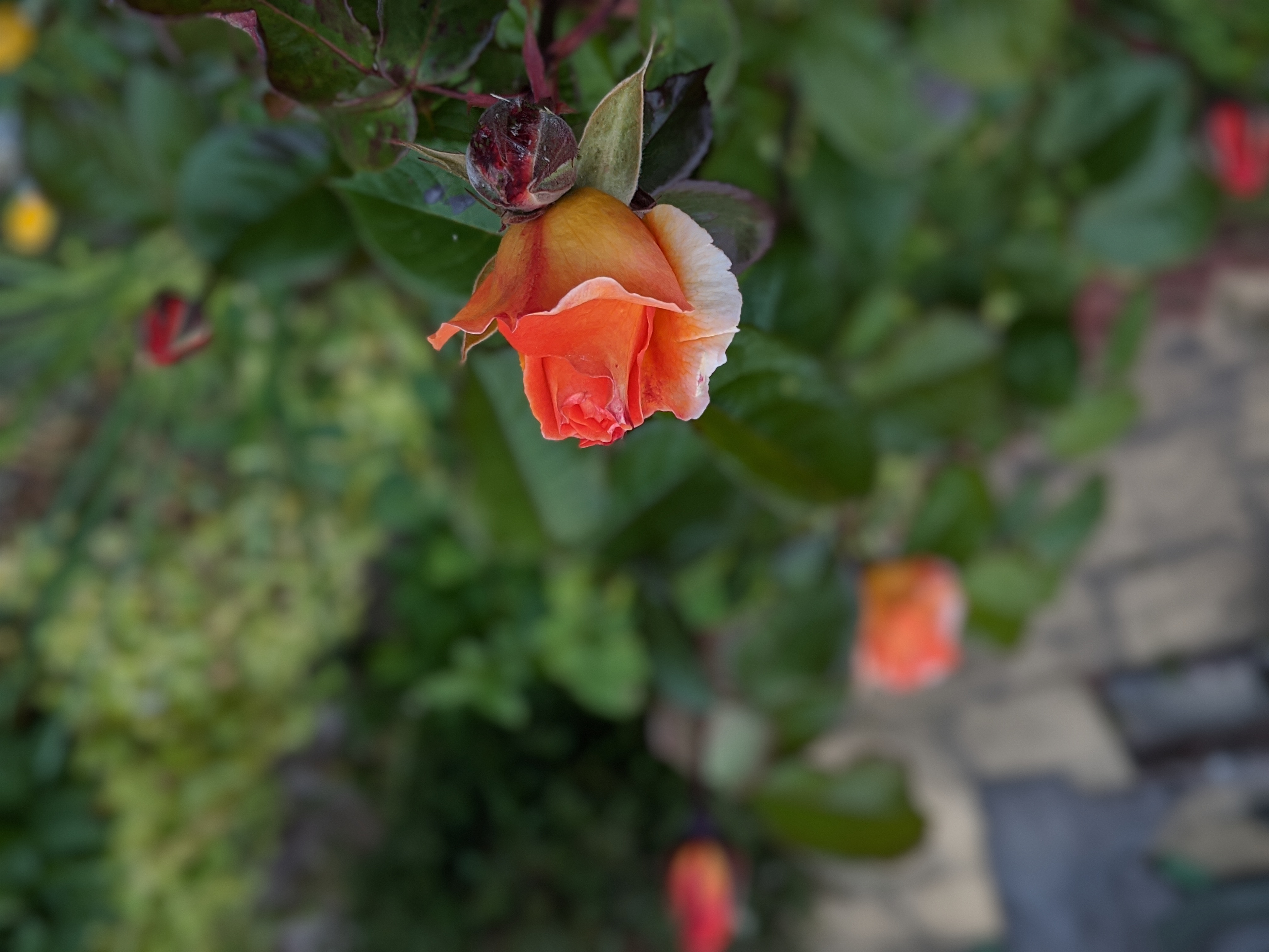 Orange rose bud, more red and orange roses emerging in the background.