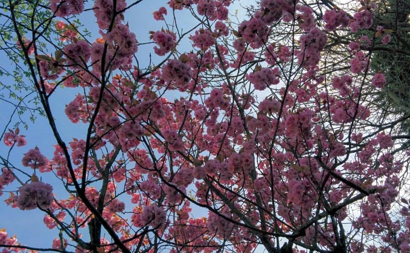 Cherry blossoms next door