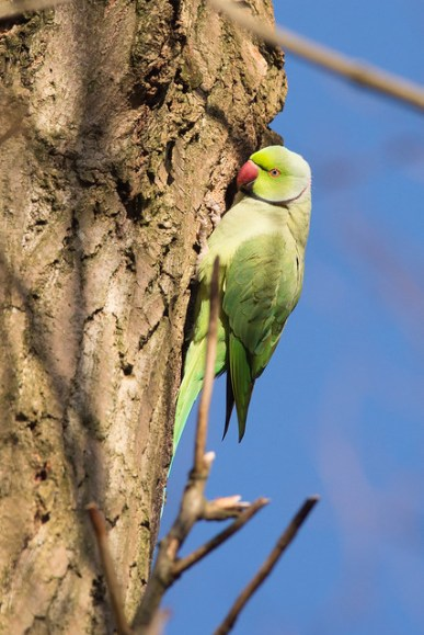 Ring-necked Parakeet excavating a nesting hole