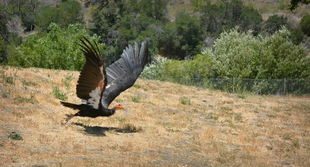 Condor #98 Takes Off For Home...