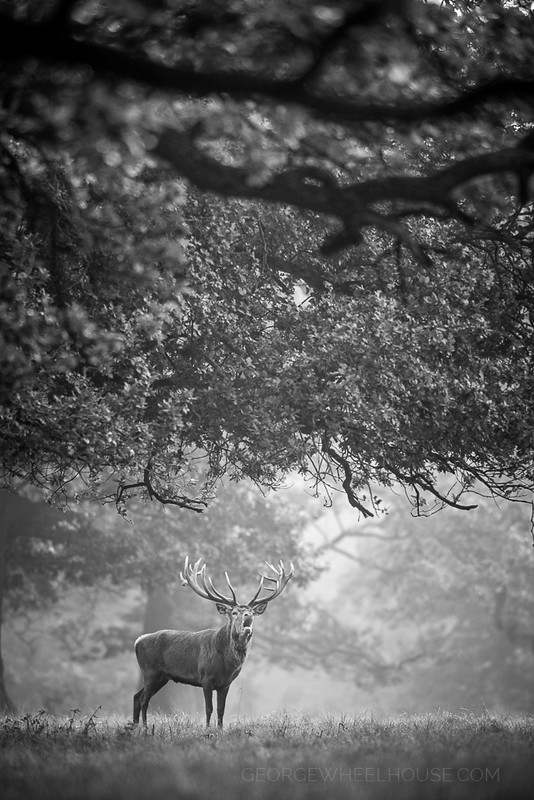 Red Deer - Calling Under Trees