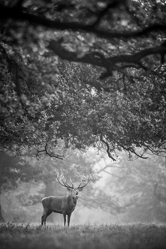 Red Deer - Calling Under Trees