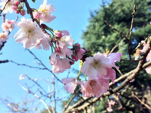 Autumn Cherry Blossoms at Shinjuku National Park(Shinjuku, Japan)