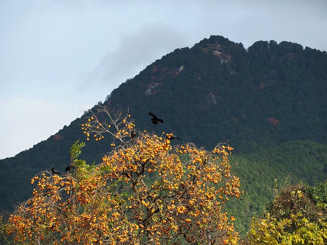 Crows in a persimmon tree
