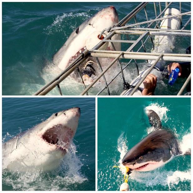 Tiburon blanco sudafrica