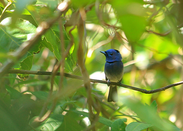 Blue Paradise Flycatcher