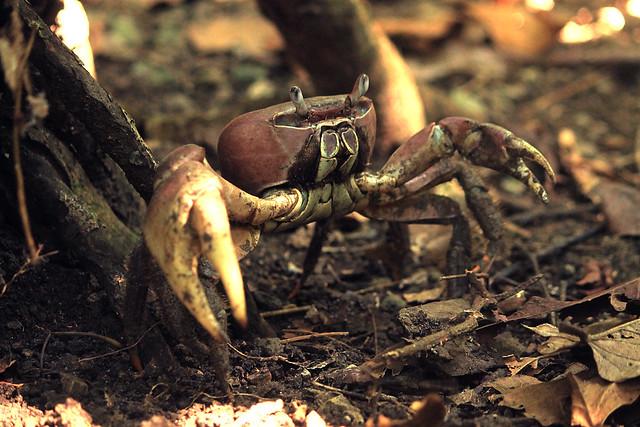 Land Crab at Palaui Island