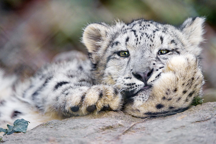 HD wallpaper: snow leopard cub, wildlife, carnivore, animal ...