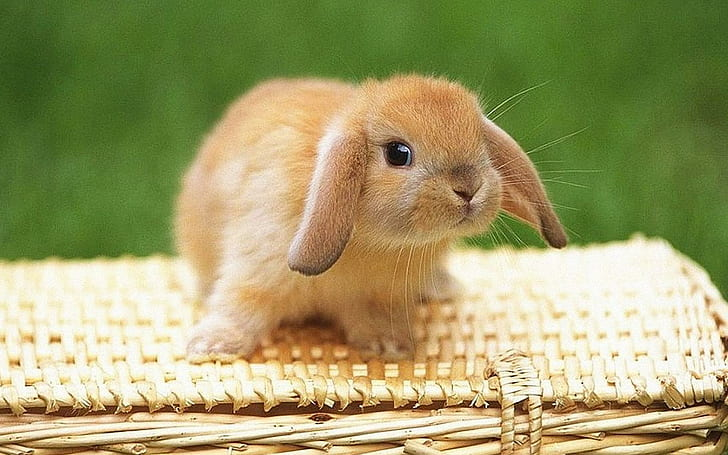 Hd Wallpaper Bunny Rabbit Cute Bunny Bujnny Animals Wallpaper Flare