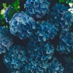 Hd Wallpaper Blue Flowers Hydrangea Inflorescence Petals Plant Part Leaf Wallpaper Flare
