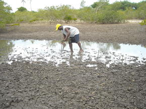 Replanting mangrove forests