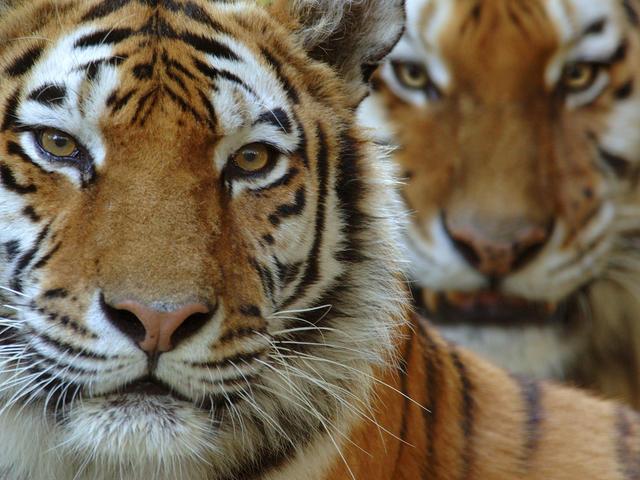 Tigers Will Go Extinct In India