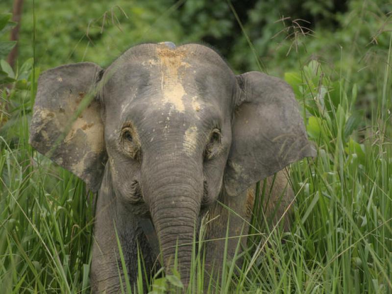 Image result for borneo pygmy elephant