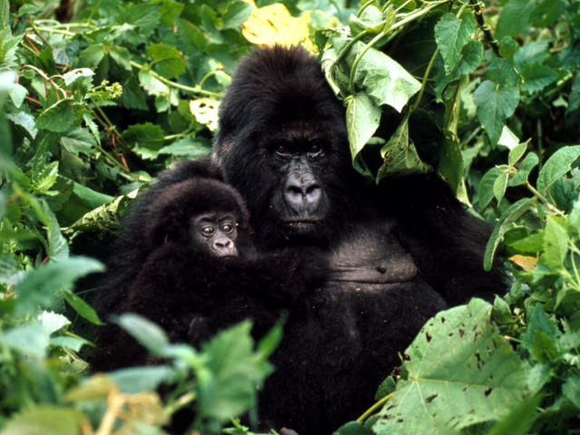Gorilla Pictures