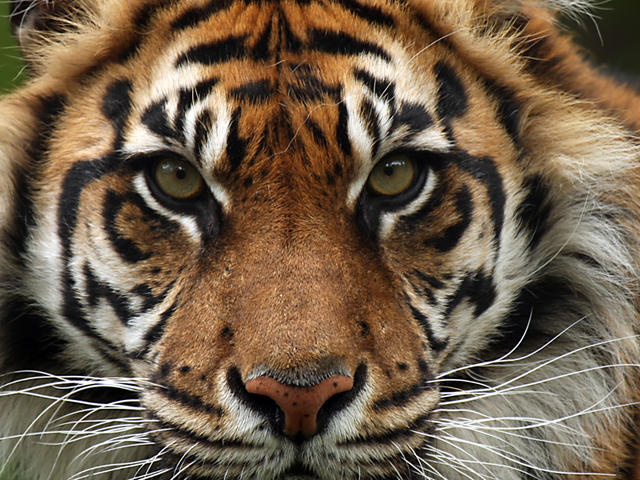 Sunda Tiger Species Wwf