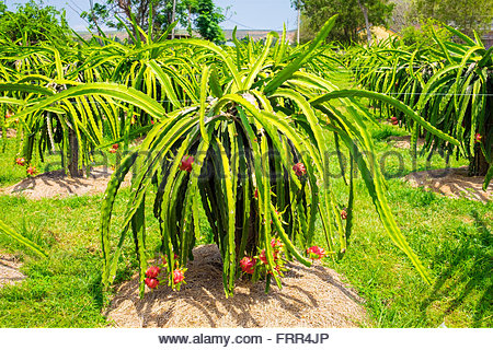 Ripe dragon fruit (pitahaya) on plants (Hylocereus undatus) at fruit farm, Ham Thuan Bac District, Binh Thuan Province, - Stock Photo