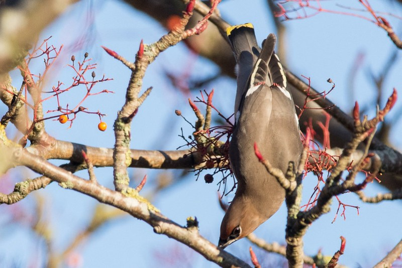 """Red """"sealing wax"""" tips to theWaxwing's secondary feathers"""