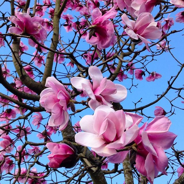 Magnificent pink magnolias