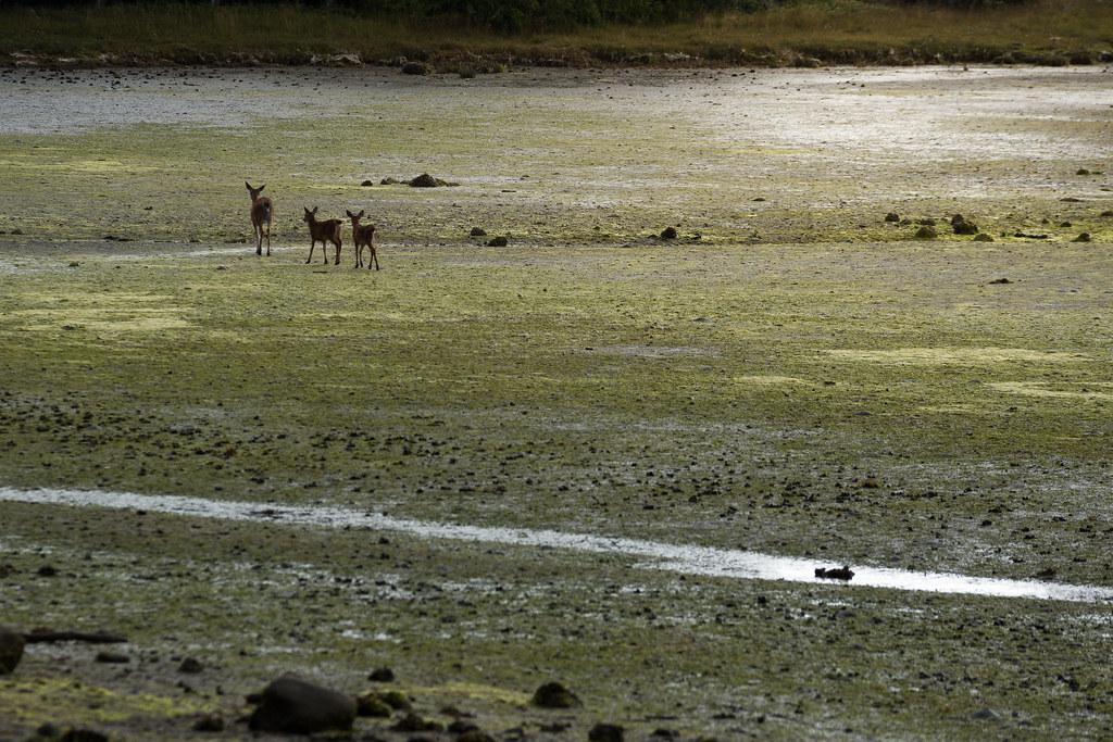 Hirschfamilie im Watt