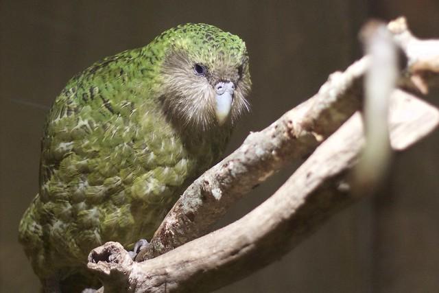 Sirocco the Kakapo.