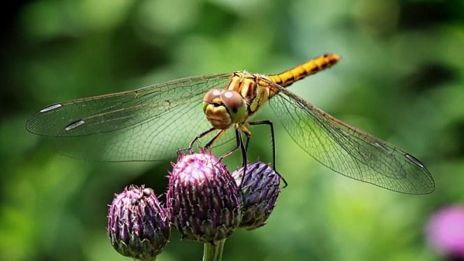 wazka-insect-compound-eyes-macro