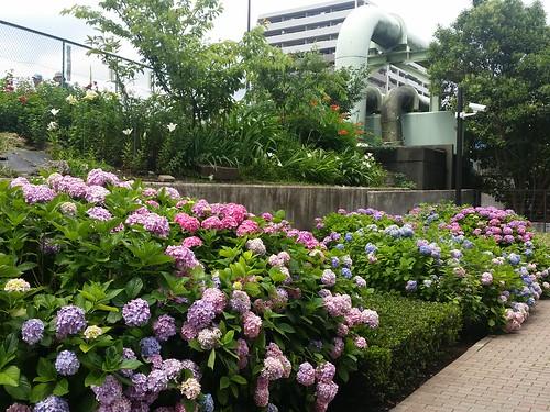 朝凪橋近くの紫陽花が綺麗でした。