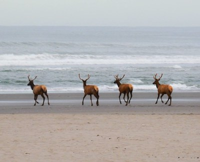 elk on the beach