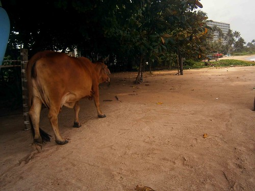 Cow On Weligama Beach