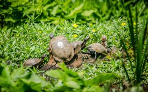 Lake Connestee Turtles