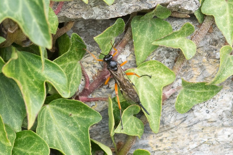 A female solitary wasp hunting for a suitable victim