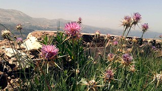 Kadisha Grotto Thistle