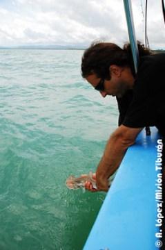 Liberación de tiburón martillo-Sphyrna lewini