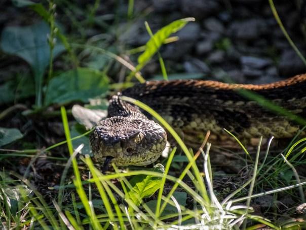 Shenandoah Rattlesnake
