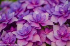 Double lavender hydrangea
