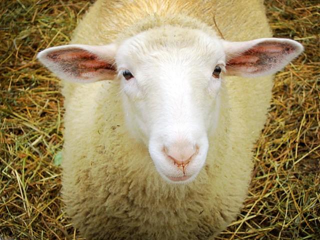 toronto island sheep