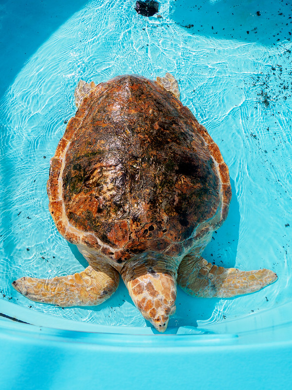 Turtle rescue and rehabilitation