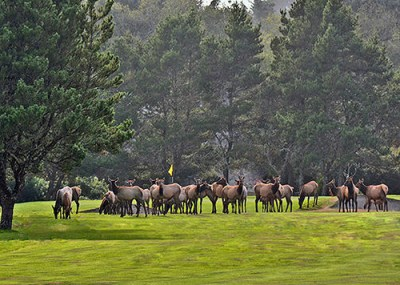 elk on golf course