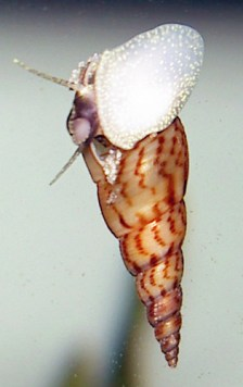 Malaysian Trumpet Snail