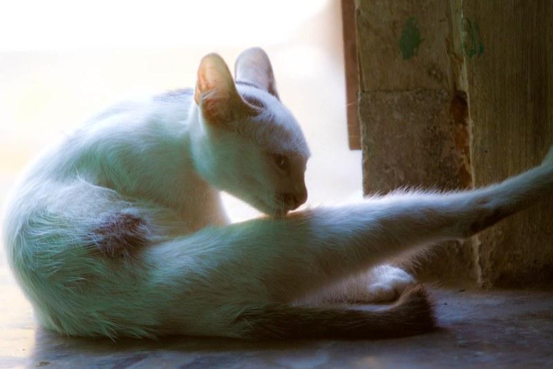 Javanese farm cat