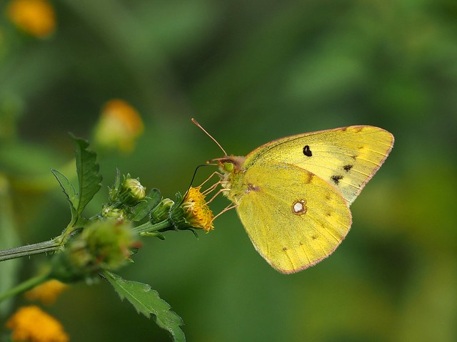 Eastern pale clouded yellow butterfly (モンキチョウ)