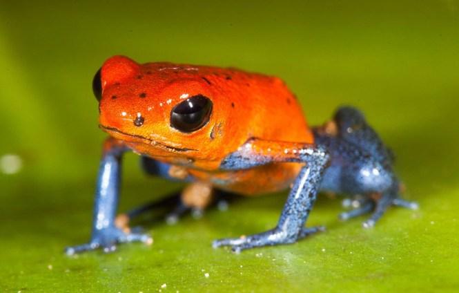 petite-grenouille-venimeuse