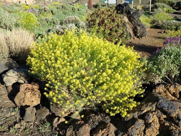 Hierba Pajonera en Tenerife