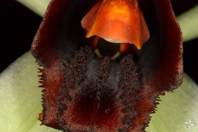 Coelogyne usitana