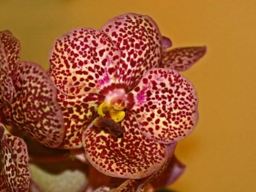 Orchidaceae - Phalaenopsis sp.-2