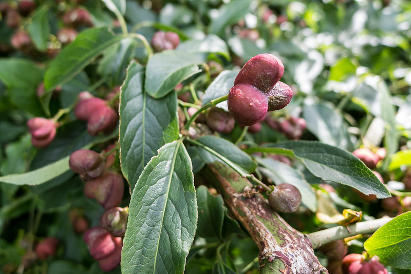 Fruiting Spindle Tree