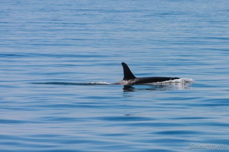 Orca in Harris Bay