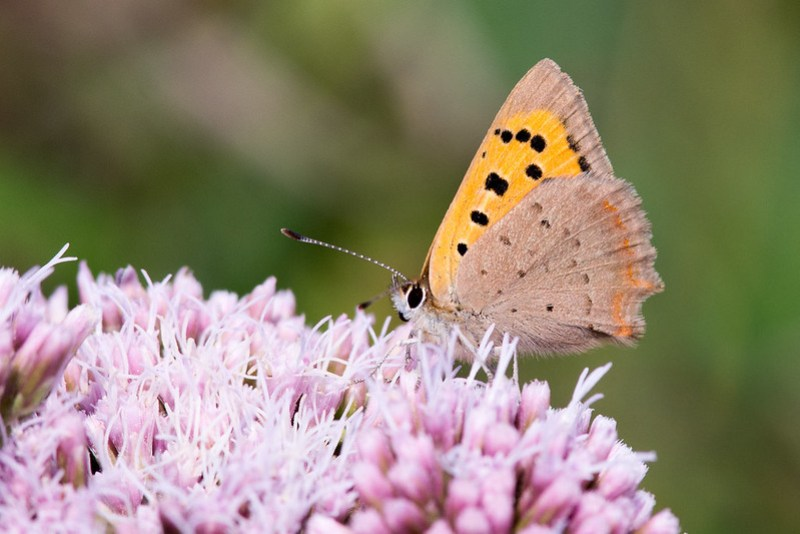 Small Copper on some late flowering Hemp Agrimony