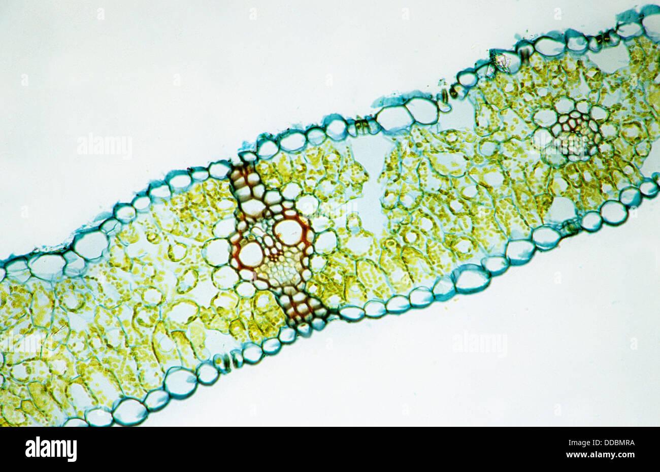 Triticum Leaf Cross Section Monocotyledon Lateral Vein