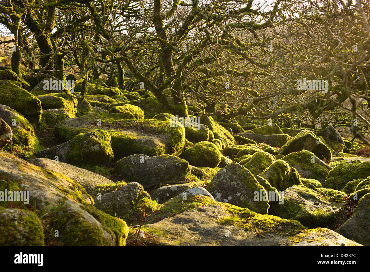 Wistman S Wood An Ancient Upland Oak Wood West Dart River Valley Stock Photo Royalty Free