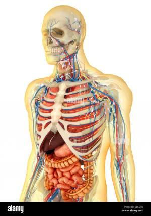 Transparent human body with internal ans, nervous system Stock Photo: 77723317  Alamy
